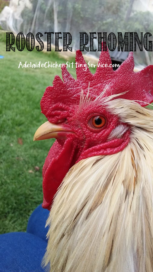 Blog - Adelaide Chicken Sitting Service